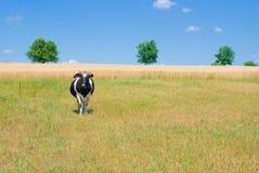 Mucca sola Immagine Stock