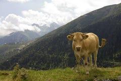 Mucca sopra una montagna Immagini Stock