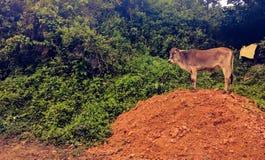 Mucca sopra una piccola collina Fotografia Stock