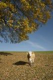 Mucca sotto un albero Fotografia Stock