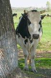 Mucca sotto un'ombra dell'albero Fotografie Stock