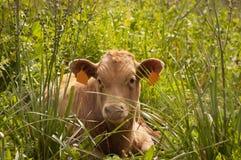 Mucca spagnola Immagini Stock