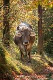 Mucca spagnola grigia Immagini Stock Libere da Diritti