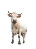 Mucca su bianco Fotografia Stock Libera da Diritti