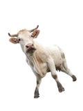 Mucca su bianco Fotografie Stock