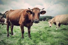 Mucca su erba verde Immagini Stock