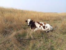 mucca su erba verde e gialla Fotografia Stock