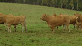 Mucca su terreno coltivabile video d archivio