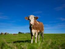 Mucca su un campo Fotografia Stock Libera da Diritti