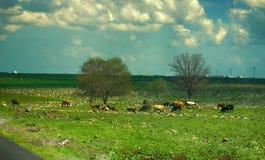 mucca su un campo verde nel tempo di primavera Fotografia Stock