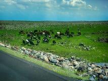 mucca su un campo verde nel tempo di primavera Fotografie Stock Libere da Diritti