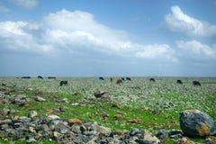 mucca su un campo verde nel tempo di primavera Immagine Stock