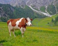 Mucca su un pascolo Fotografie Stock Libere da Diritti