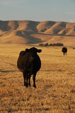 Mucca su un pascolo immagine stock