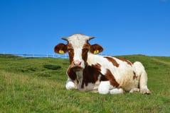 Mucca su un pascolo dell'alta montagna Fotografia Stock