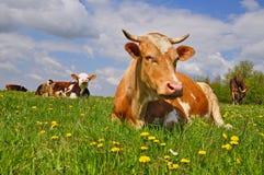 Mucca su un pascolo di estate Immagini Stock Libere da Diritti