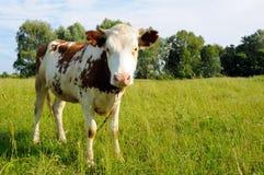 Mucca su un pascolo di estate Fotografie Stock