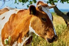 Mucca su un pascolo di estate Fotografie Stock Libere da Diritti