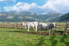 Mucca su un pascolo sui precedenti di una montagna Due mucche che pascono su un campo fotografia stock