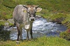 Mucca su un prato alpino nelle alpi di Stubai Fotografia Stock