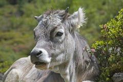 Mucca su un prato alpino nelle alpi di Stubai Fotografie Stock
