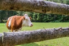 Mucca su un prato in Austria Fotografie Stock