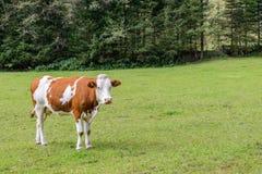 Mucca su un prato in Austria Fotografie Stock Libere da Diritti