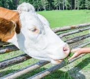 Mucca su un prato in Austria Fotografia Stock