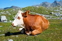 Mucca su un prato della montagna Fotografia Stock