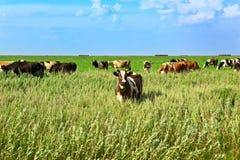 Mucca su un prato verde Fotografia Stock Libera da Diritti