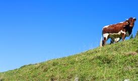 Mucca su una collina Fotografia Stock Libera da Diritti