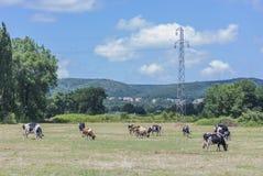 Mucca su una collina verde Fotografie Stock