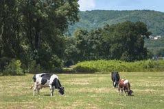 Mucca su una collina verde Fotografia Stock Libera da Diritti