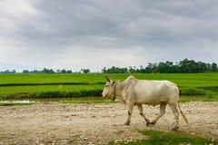 Mucca su una traccia nel Nepal rurale Fotografie Stock