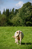 Mucca su verde Fotografia Stock