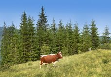 Mucca sui pascoli nelle montagne Fotografia Stock