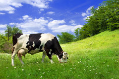 Mucca sul bello prato Fotografie Stock Libere da Diritti