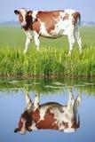 Mucca sul campo Fotografie Stock Libere da Diritti
