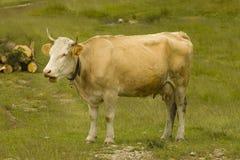 Mucca sul campo Immagini Stock Libere da Diritti