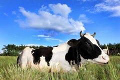 Mucca sul campo Fotografie Stock