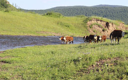 Mucca sul campo Immagine Stock Libera da Diritti