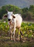 Mucca sul campo del loto Immagini Stock