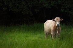 Mucca sul campo di erba verde Fotografie Stock