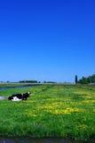 Mucca sul campo verde Immagine Stock