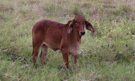 Mucca sul campo verde Immagini Stock