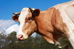 Mucca sul pascolo Immagini Stock Libere da Diritti