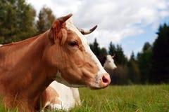 Mucca sul pascolo Fotografia Stock Libera da Diritti