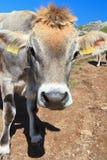 Mucca sul pascolo alpino Immagini Stock