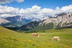 Mucca sul pascolo alpino Immagine Stock Libera da Diritti