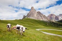 Mucca sul pascolo alpino della collina della montagna Fotografia Stock